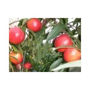 9602桃苗价格,供应山东销量佳的9602桃树苗