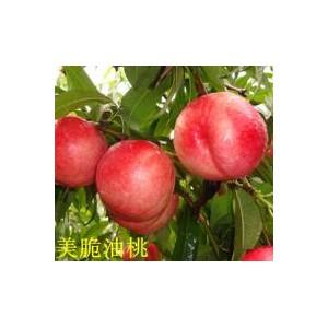 桃树苗批发:品种好的桃树苗出售