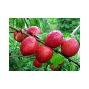 兴民果树苗木出售专业的香山红桃树苗:香山红桃树苗批发