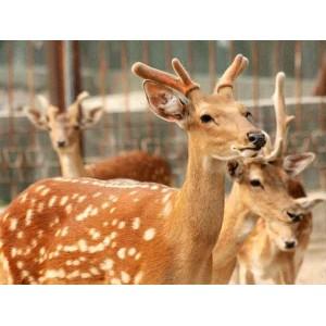 梅花鹿养殖哪家好:买山东梅花鹿当然是到方刚梅花鹿养殖
