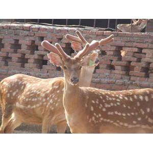 山东梅花鹿养殖基地——价位合理的山东梅花鹿就在方刚梅花鹿养殖
