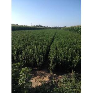山东大叶黄杨-山东品种好的瓜子黄杨供应