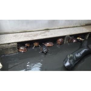 惠州金钱龟哪家好_惠州金钱龟哪里有_惠州金钱龟——子山生态园