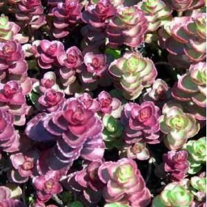 供应红叶景天——实惠的红叶景天潍坊哪里有