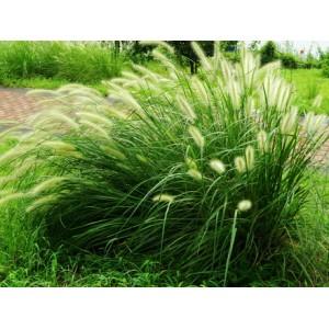 紫穗狼尾草基地-狼尾草价格量大从优