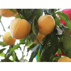 郭涛黄桃树苗-供应山东好种植的黄桃苗